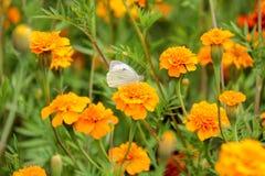 Нектар питья бабочки на цветках Стоковое Изображение