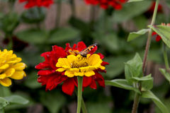 Нектар питья бабочки на цветках Стоковые Изображения