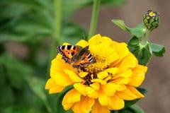 Нектар питья бабочки на цветках Стоковая Фотография