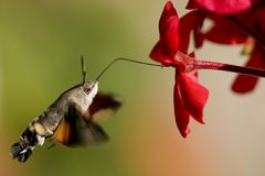 нектар сумеречницы hummingbird хоука гераниума Стоковая Фотография RF