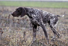 Немецкая Коротк-с волосами указывая собака Стоковые Изображения RF