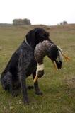 Немецкая Коротк-с волосами указывая собака Стоковые Фотографии RF