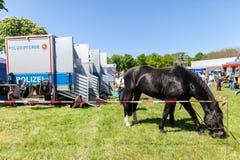 Немецкая лошадь полиции пася на ограженное с зоны Стоковая Фотография RF