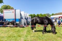 Немецкая лошадь полиции пася на ограженное с зоны Стоковое Изображение RF