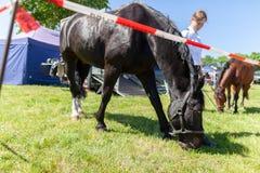 Немецкая лошадь полиции пася на ограженное с зоны Стоковые Изображения RF