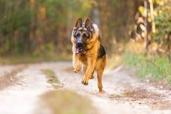 Немецкая овчарка бежать в лесе осени Стоковые Изображения