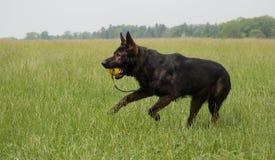Немецкая овчарка играя и бежать Стоковое фото RF