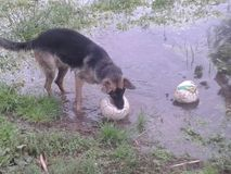 Немецкая овчарка играя с футбольным мячом Стоковые Фото
