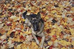 Немецкая овчарка лежит в colurful листьях в осени Стоковое фото RF
