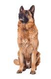 Немецкая овчарка на белизне Стоковые Фотографии RF