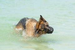 Немецкая овчарка на пляже Стоковые Фото