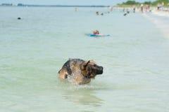 Немецкая овчарка на пляже Стоковое Изображение RF