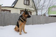Немецкая овчарка на снеге Стоковое Изображение