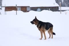 Немецкая овчарка на снеге Стоковые Фотографии RF