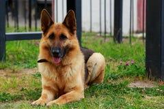 Немецкая овчарка породы собаки Стоковое Изображение RF