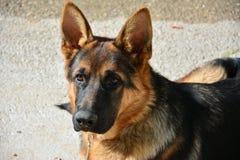 Немецкая овчарка породы собаки Стоковое Фото