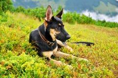 Немецкая овчарка собаки стоковая фотография rf