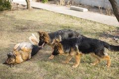 Немецкая овчарка собаки породы Стоковые Фото