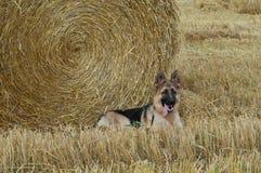 Немецкая овчарка стоковое изображение rf
