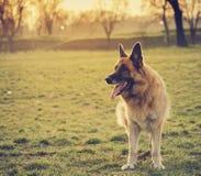 Немецкая овчарка Стоковые Изображения RF