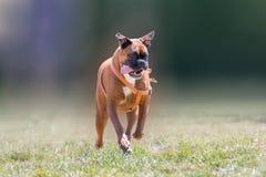 Немецкая собака боксера бежать на парке Стоковое Изображение