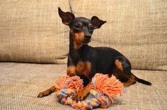 Немецкая собака миниатюрного pinscher на софе со своей игрушкой стоковые фотографии rf