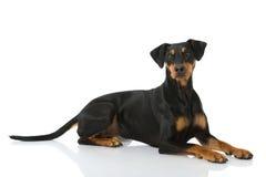 Немецкая собака pinscher Стоковое Фото