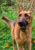 Немецкая собака Shepard и желтые цветки стоковое фото rf