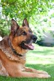 Немецкая собака shepard Стоковое Изображение