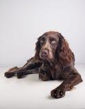 Немецкая собака spaniel Стоковые Изображения