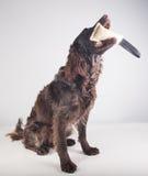 Немецкая собака spaniel Стоковые Изображения RF