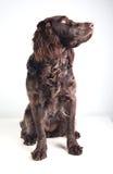 Немецкая собака spaniel Стоковые Фото