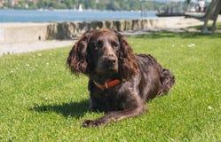 Немецкая собака spaniel Стоковая Фотография