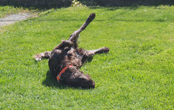 Немецкая собака spaniel Стоковое фото RF