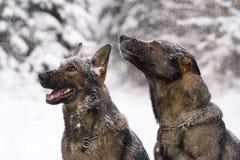немецкие sheepdogs 2 древесины зимы Стоковые Изображения RF