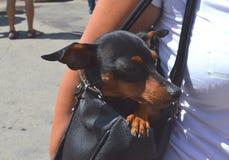 Немецкий сидеть собаки миниатюрного pinscher спрятанный в своей сумке ` s предпринимателя на занятой улице города стоковая фотография rf