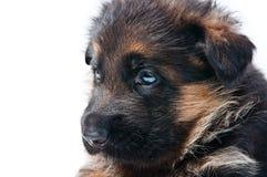 немецкий чабан щенка стоковые фото