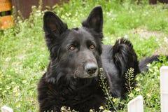 Немецкий черный телохранитель собаки дома овчарки, предохранитель жизни стоковое изображение