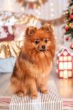 Немецкий шпиц Klein сидит на коробке с подарком около рождественской елки Животные темы стоковое фото