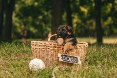 Немецкий щенок Стоковое фото RF