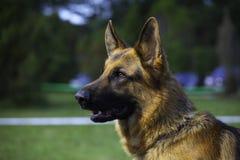 немецкий sheepdog портрета стоковая фотография