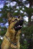 немецкий sheepdog портрета стоковые фото