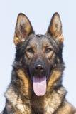 немецкий sheepdog портрета стоковые изображения