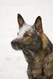 немецкий sheepdog стоковые фото