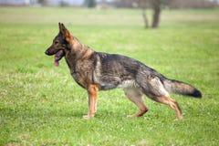 немецкий sheepdog стоковая фотография