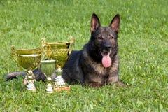 немецкий sheepdog стоковое фото rf