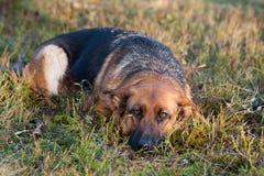 немецкий sheepdog стоковые фотографии rf