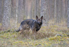Немецкий sheepdog стоковое изображение rf
