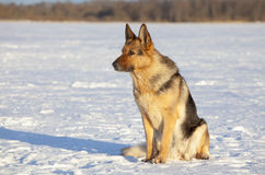 немецкий sheepdog стоковое фото