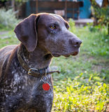 Немецкий shorthaired указатель - собака охотника Стоковые Изображения